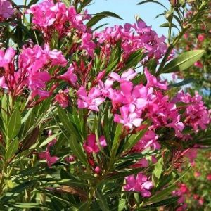 Oleander plant 300x300 - Do-It-Yourself Home Inspection Checklist